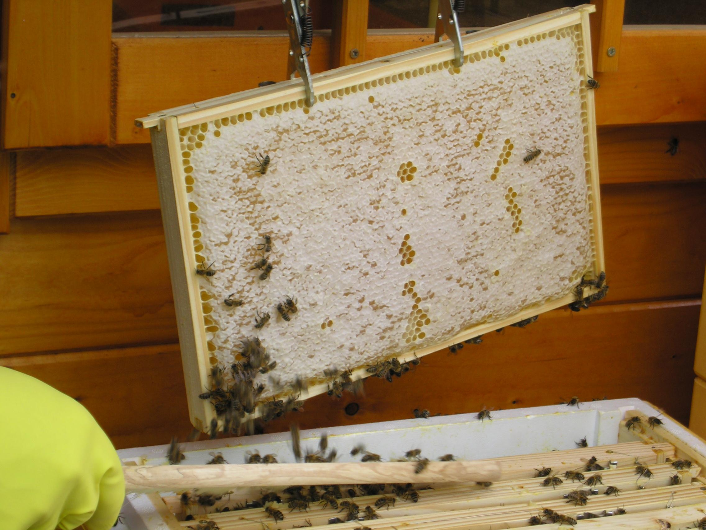 Eine volle Honigwabe wie diese enthält ca. 1,5 Kg Honig